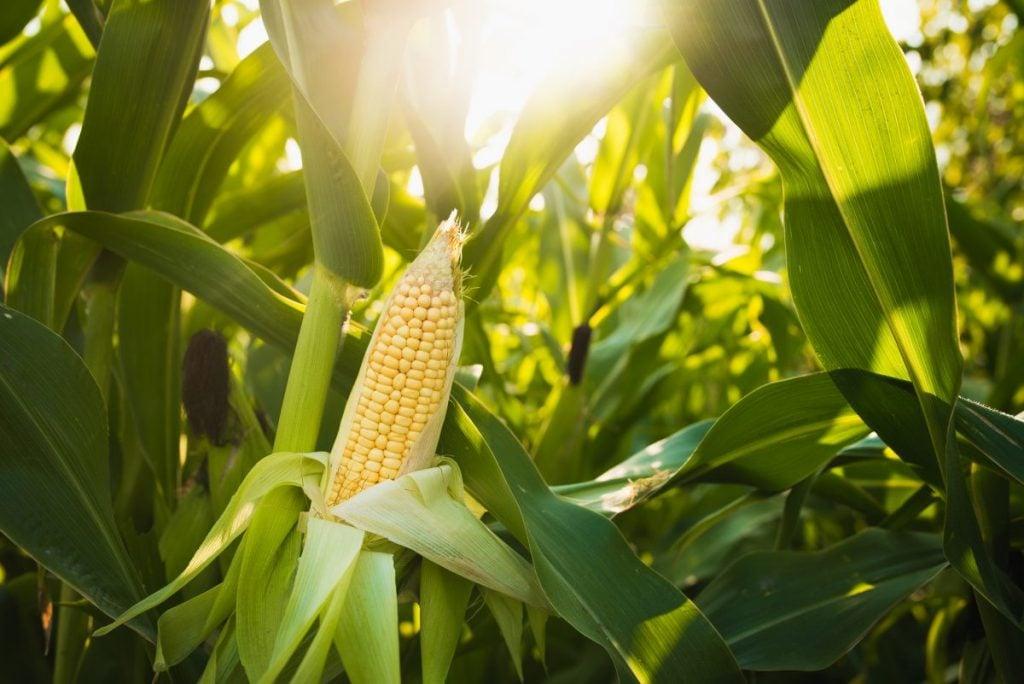 Epigenetics Plants Tomatoes Corn Maize