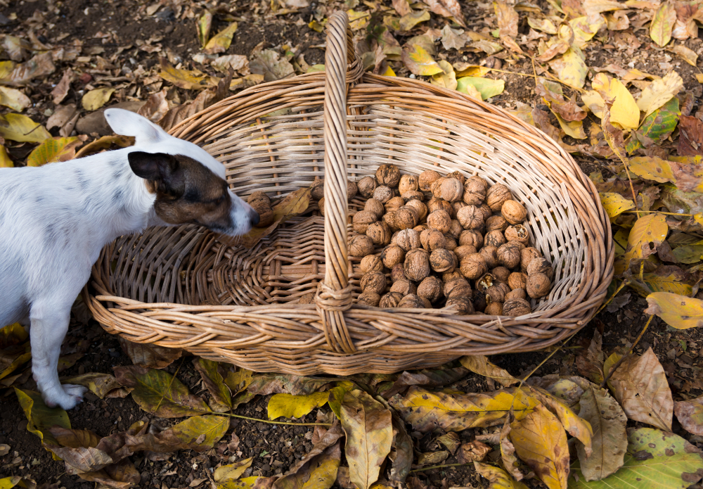 Walnuts harvest. Walnuts in a vintage basket on a yellow leafy floor in autumn season and a dog next to it.