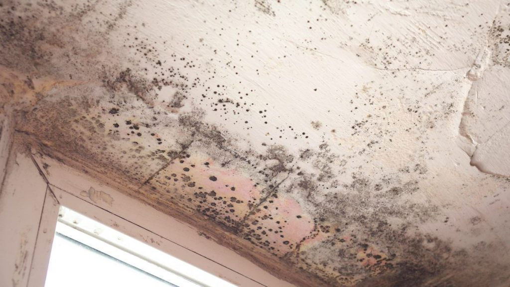 black mold chartarum