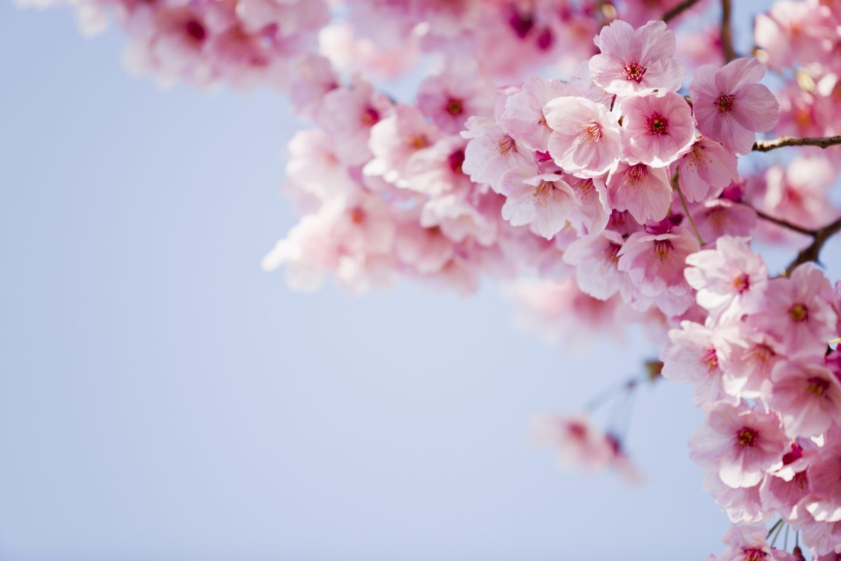 Cherry blossoms blooming in springtime.