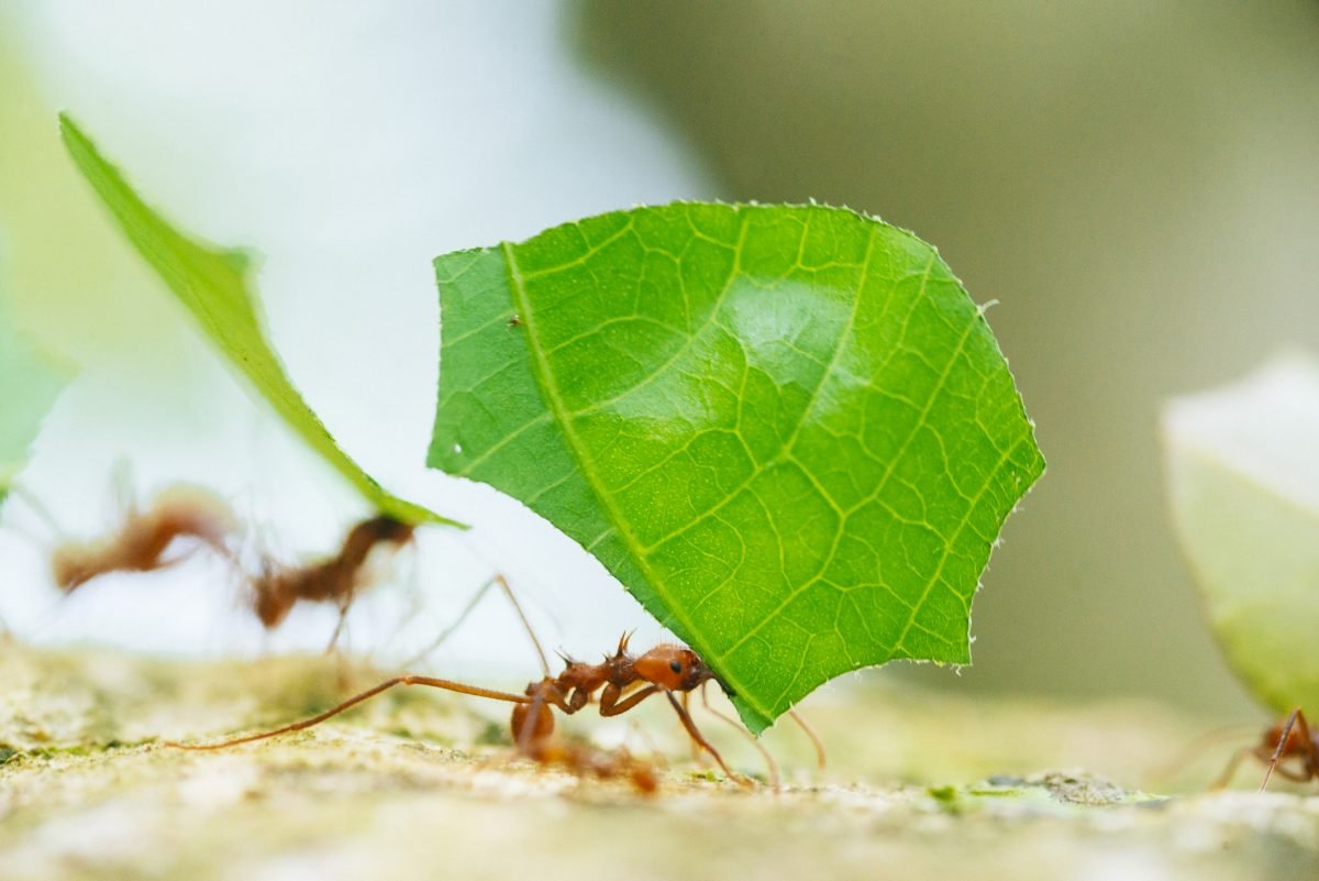Leafcutter ants marching along.