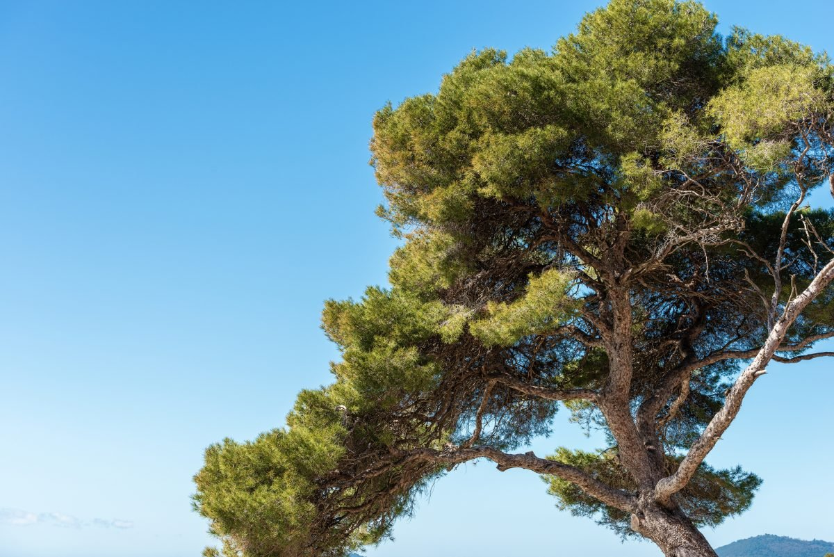 Maritime Pine Bark Fights Inflammation