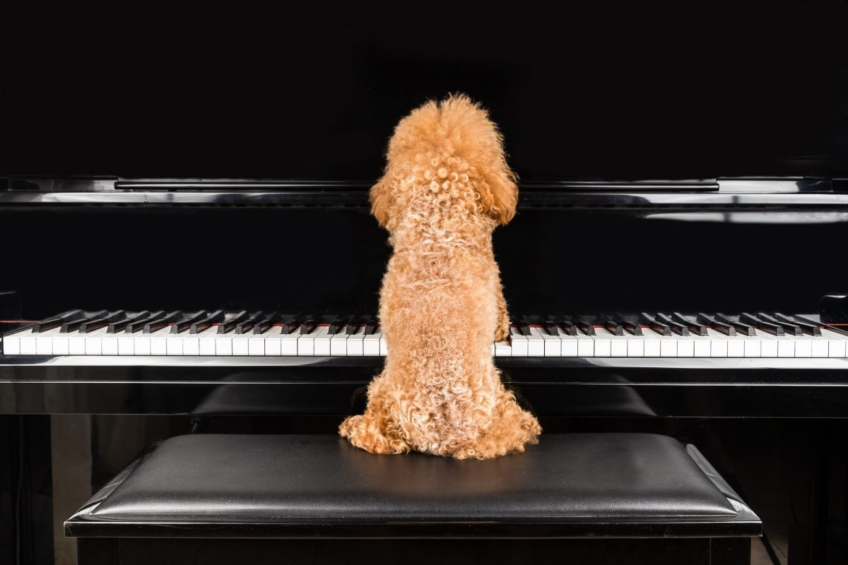 Play Piano Dog Teach Trick