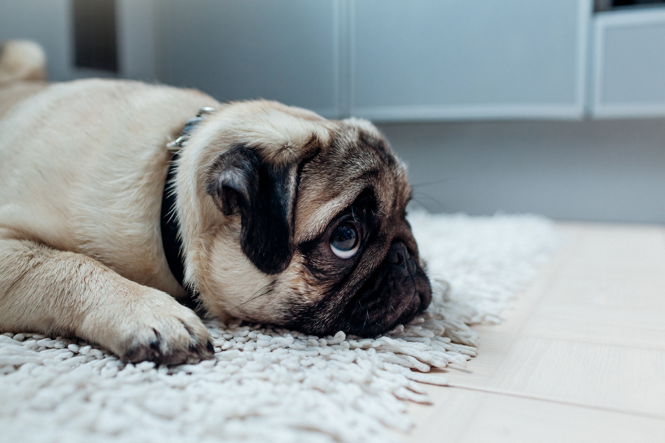 Sad pug dog was punished and left alone on the kitchen