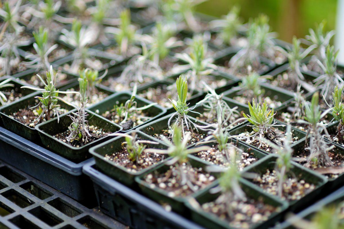 lavender seedlings in greenhouse
