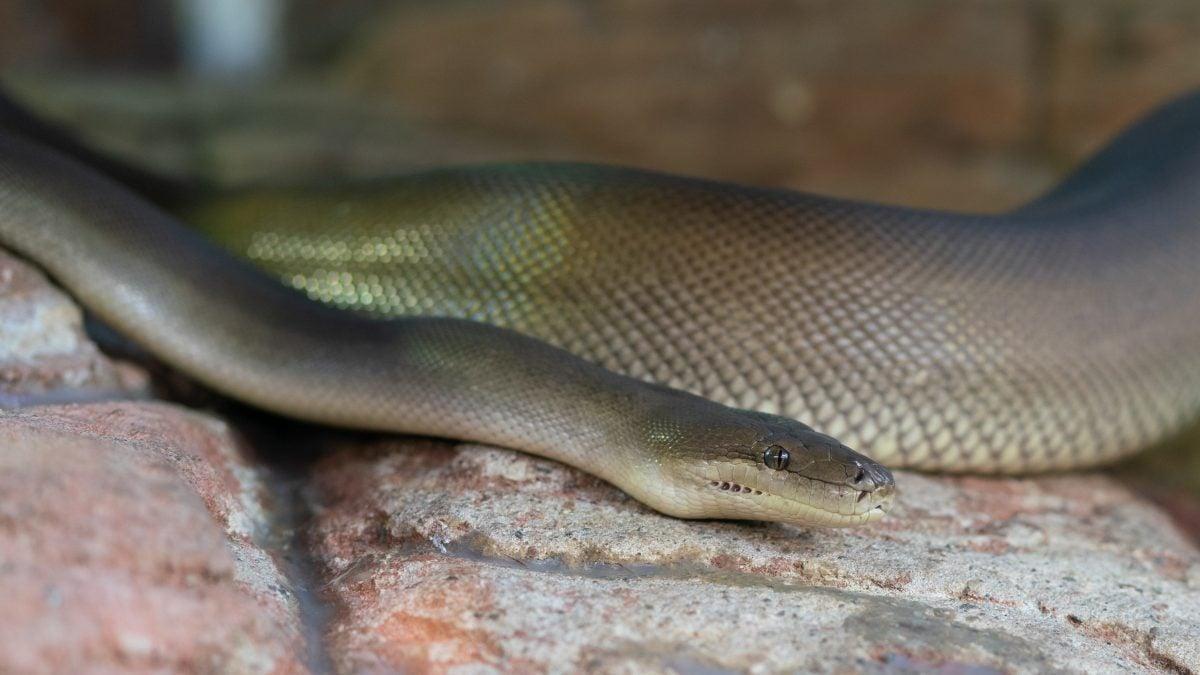 olive python australia liasis olivaceus