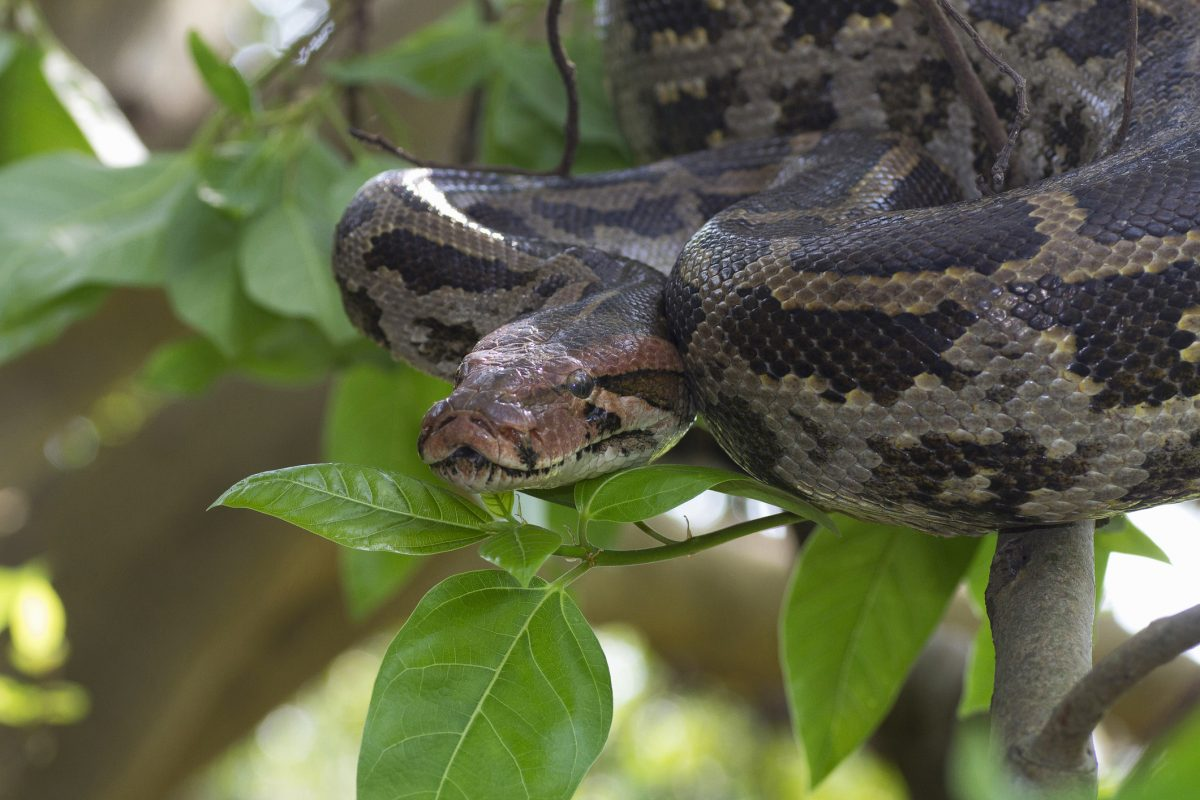 indian rock python molurus pakistan