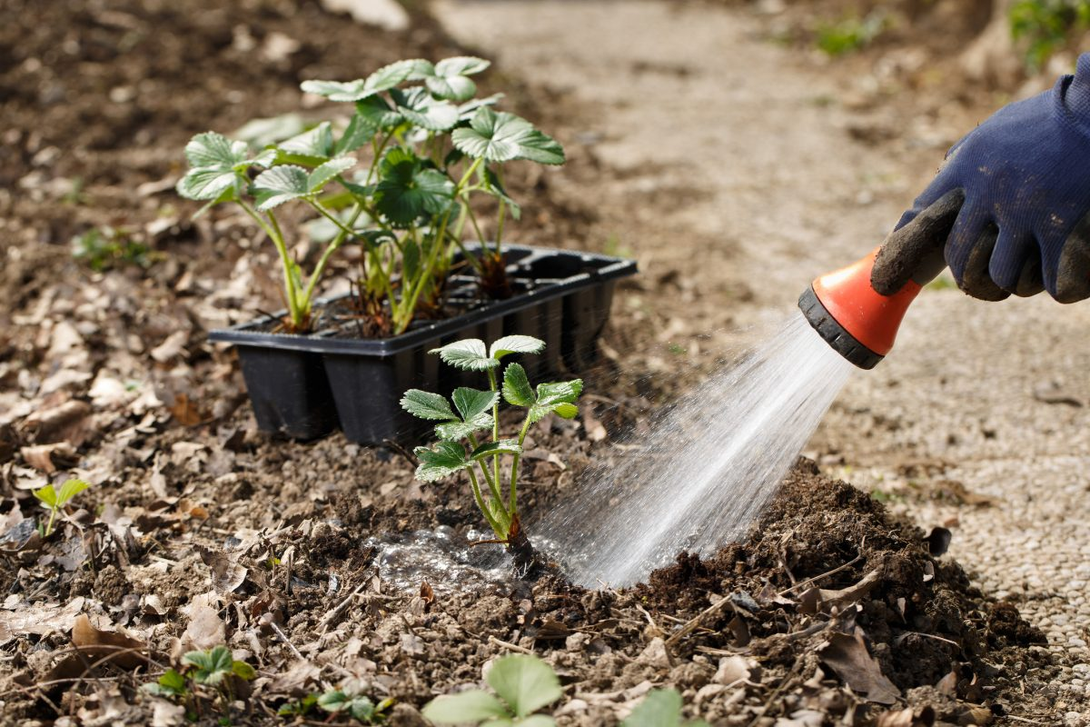 watering soil strawberry plants seeds