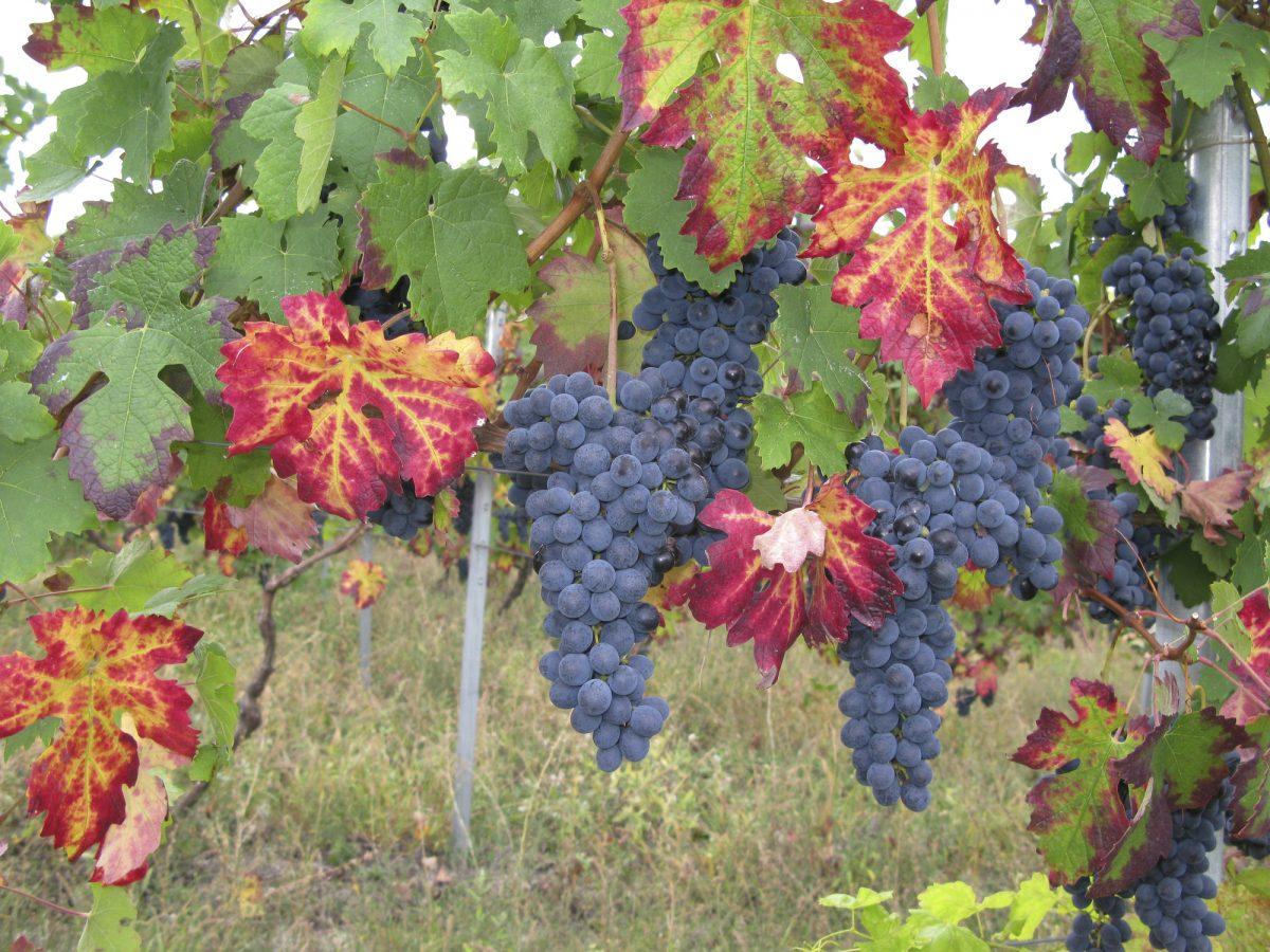 protegens grapevine trunk disease