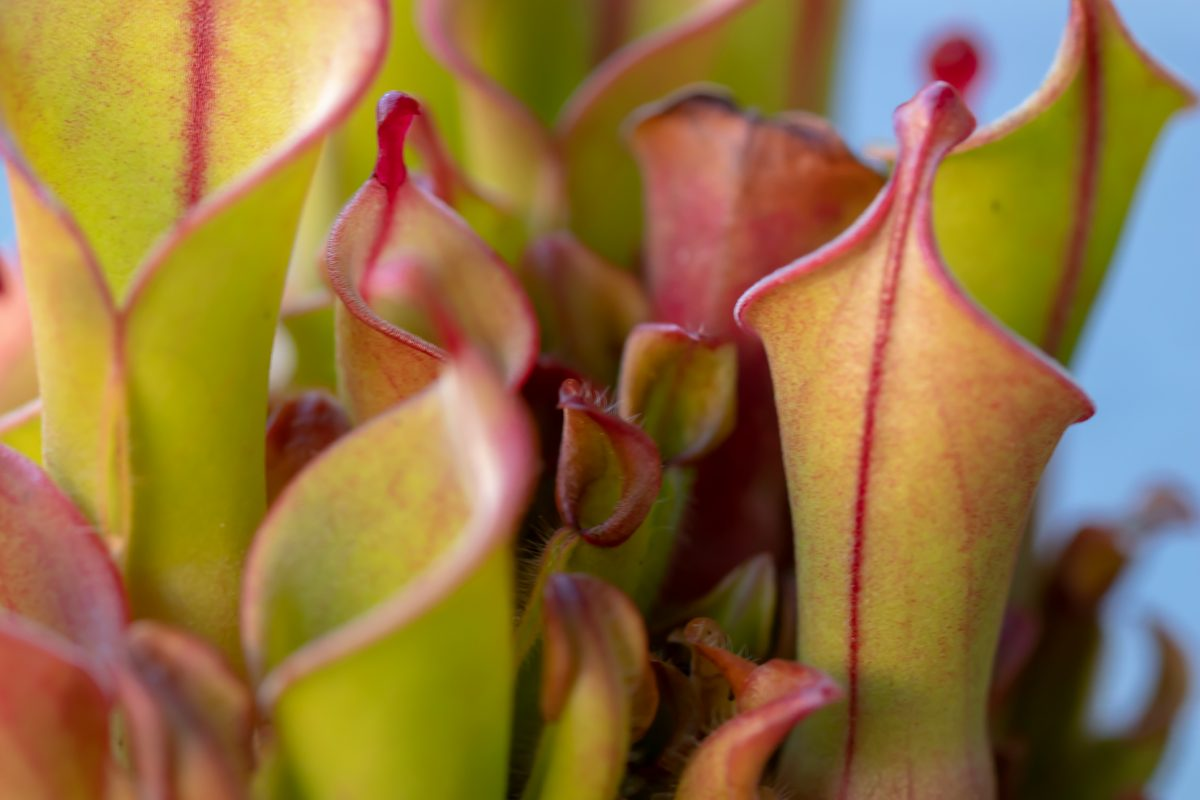 heliamphora sun pitcher nectar spoon