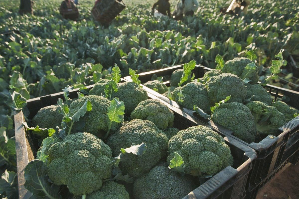 Tips For Planting Broccoli Gardening