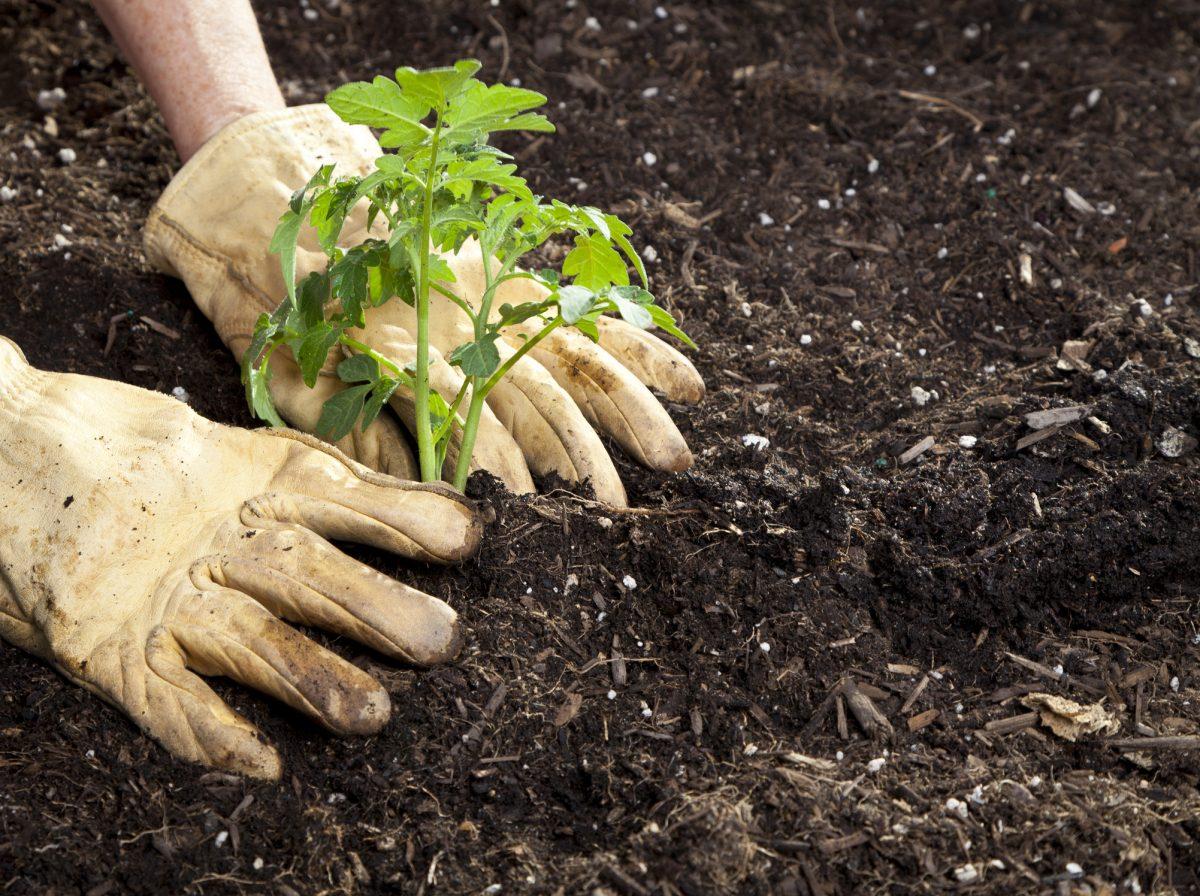 tomato hole digging
