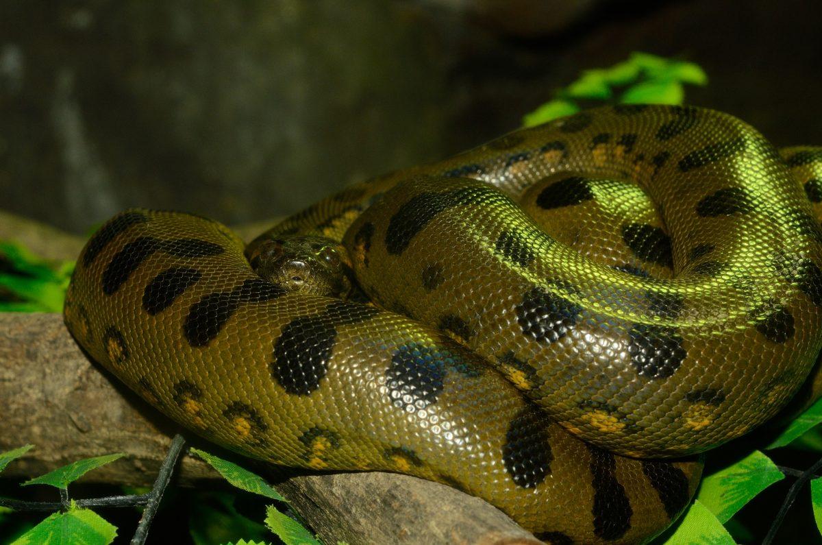 green anaconda orinoco amazon slow-moving