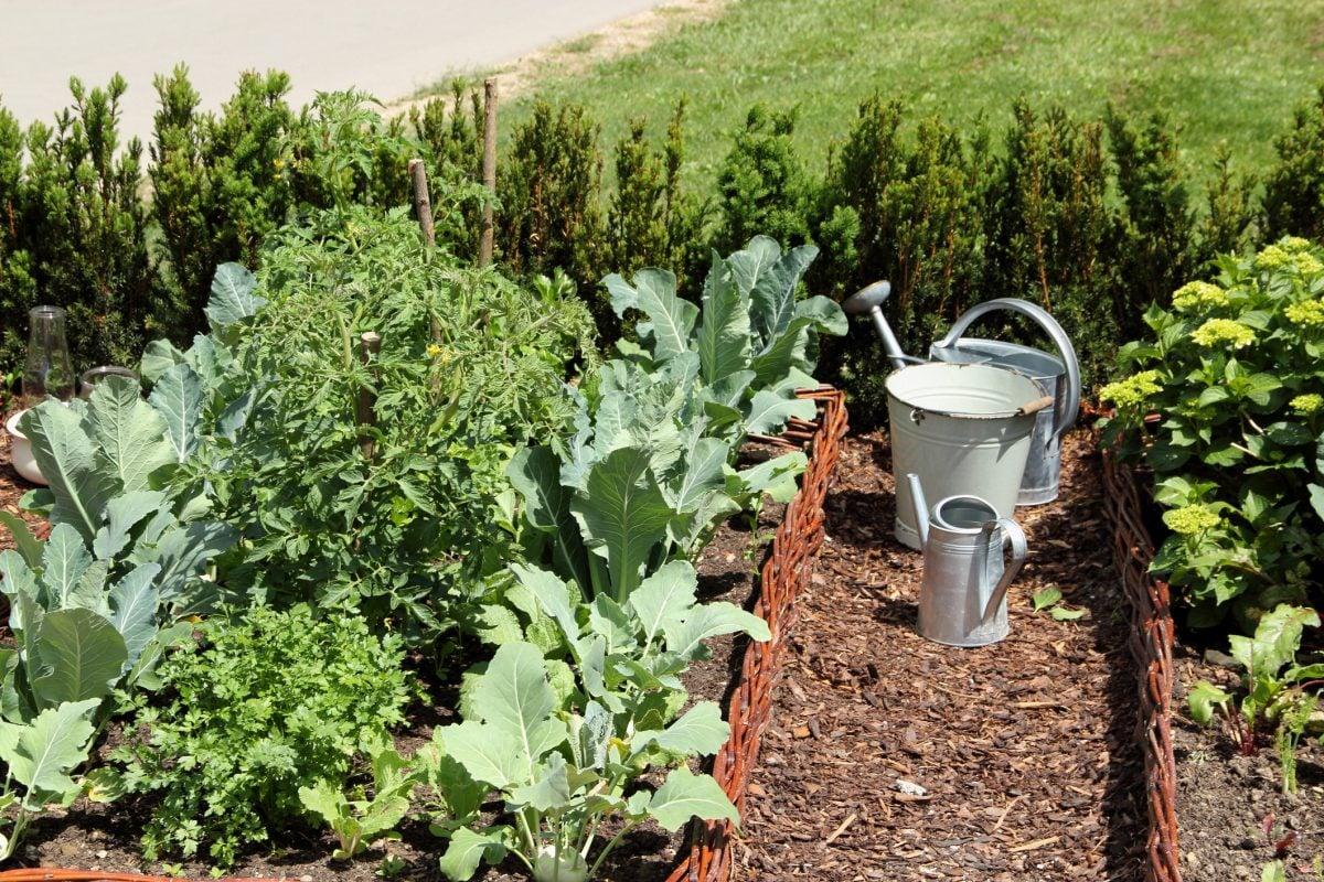 Watering Broccoli Plants Regular