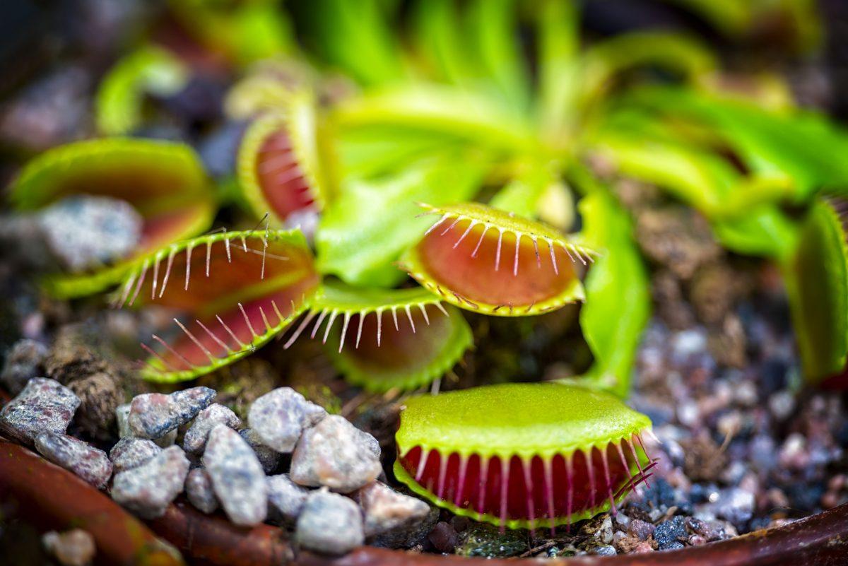 venus flytrap pot