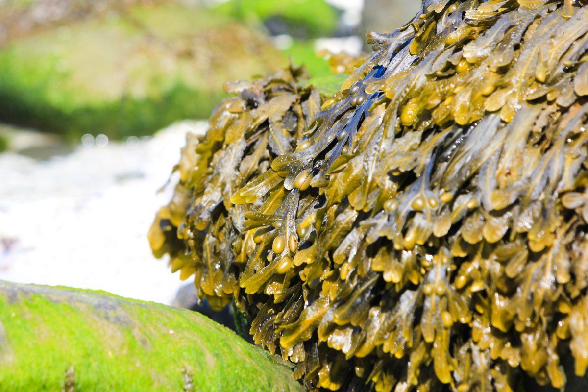 seaweed sea moss