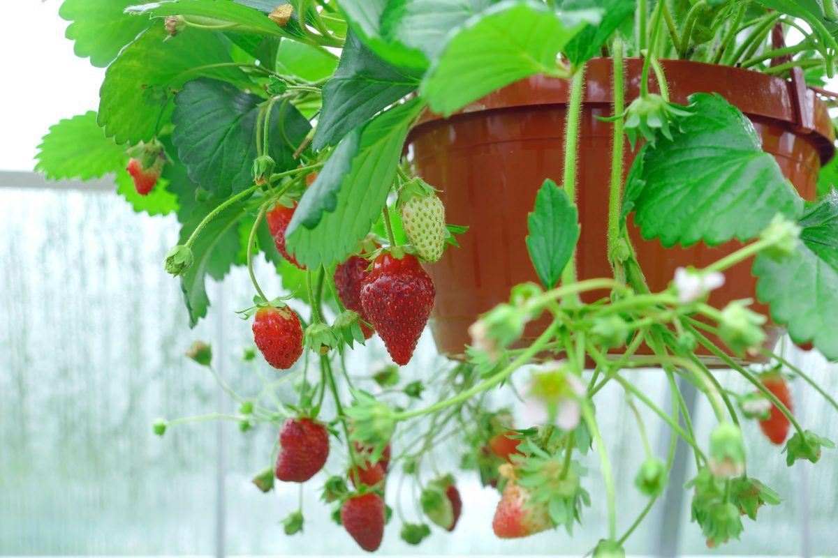 plant pot hanging basket strawberry