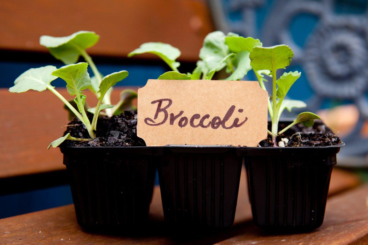 Transplanting Broccoli Seedlings Spacing When