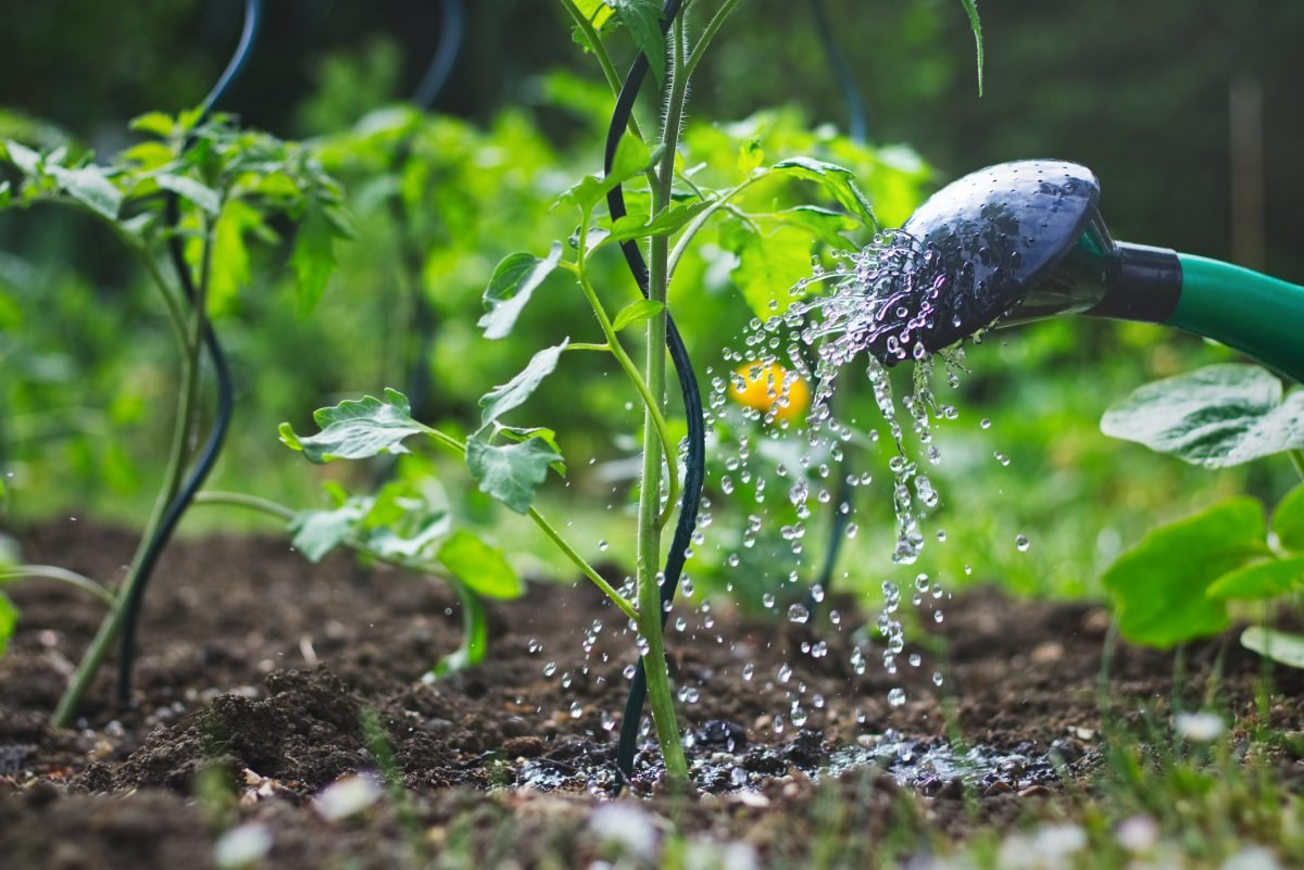 watering can tomato sprouts