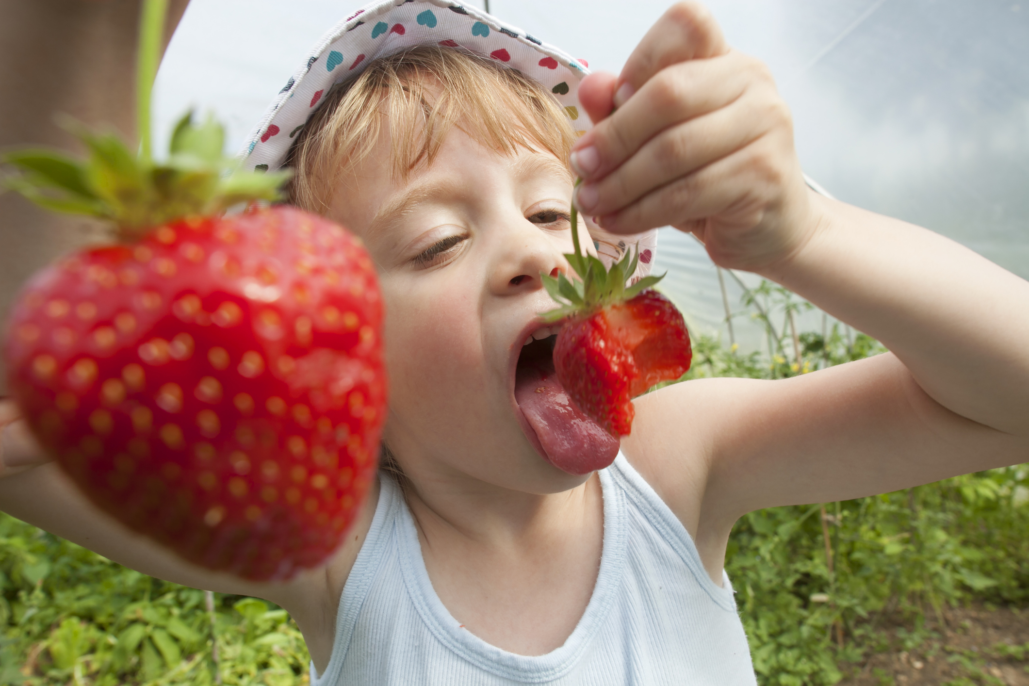 Young girl eating strawberries after picking them
