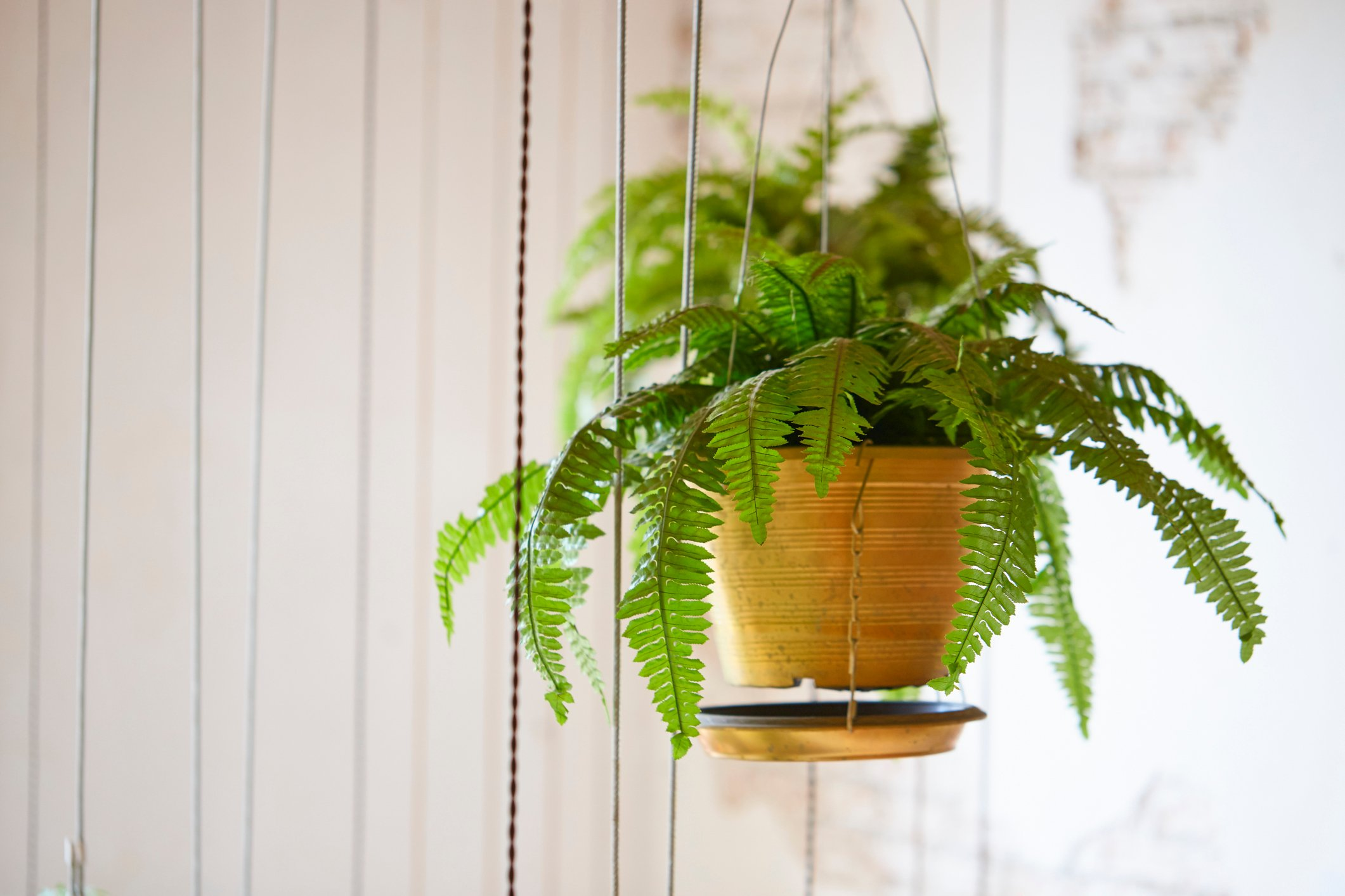 Pot of hanging Boston fern, hanging green plant decoration