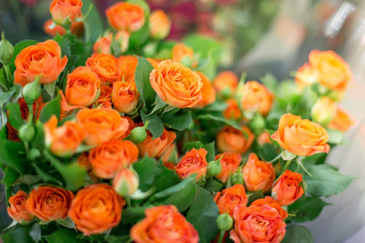 bouquet orange roses blooming