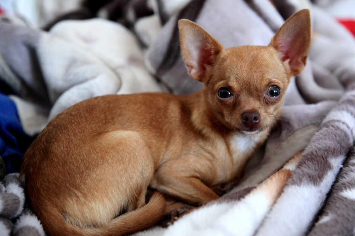 breed Techichi dog chihuahua