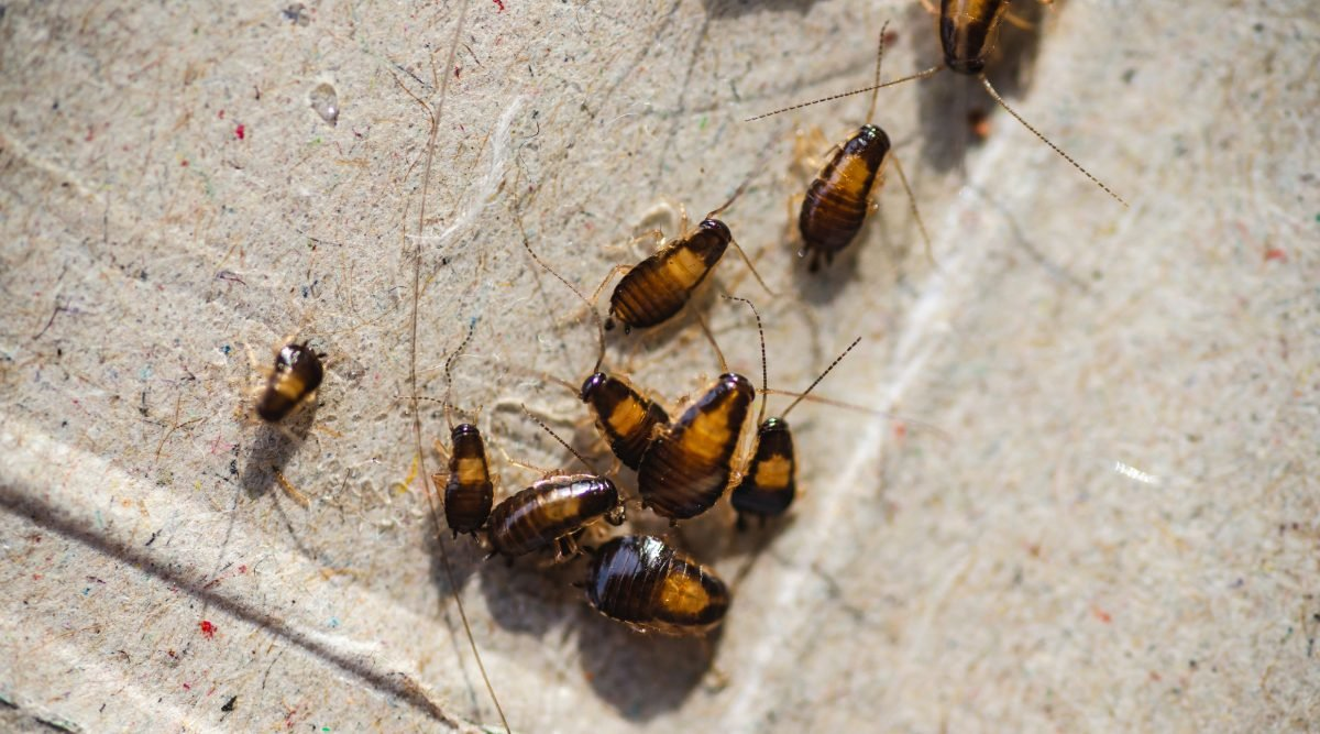 German cockroaches are dark brown