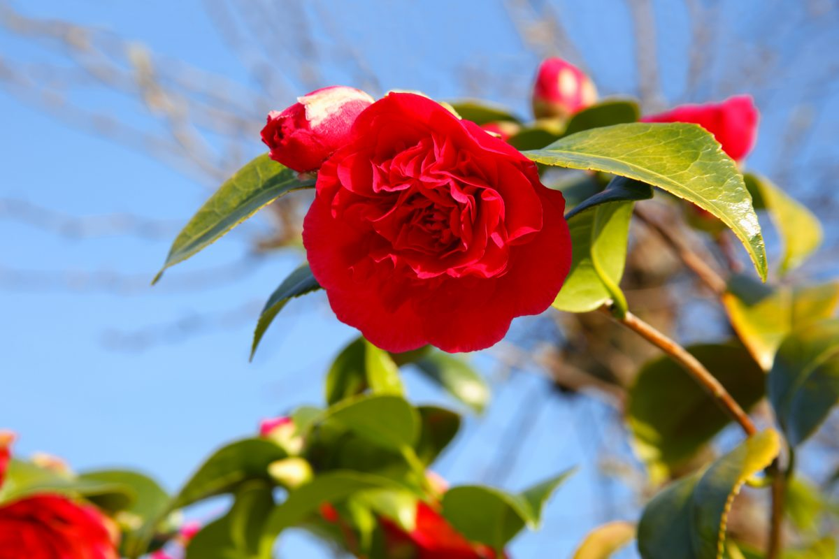 red camellia plant