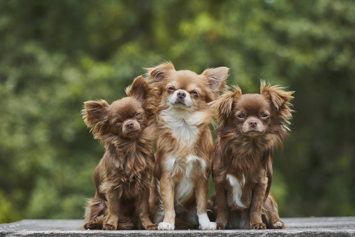 charming loyal saucy chihuahuas