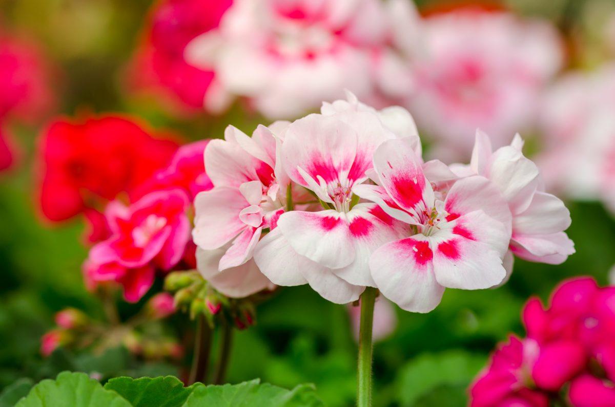 scent varieties mosquito repellent geraniums