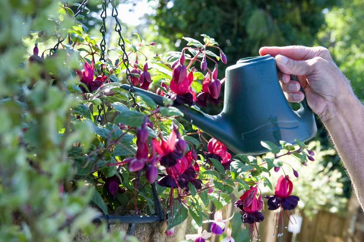 Fuchsia Hummingbird Shade Summer Cool