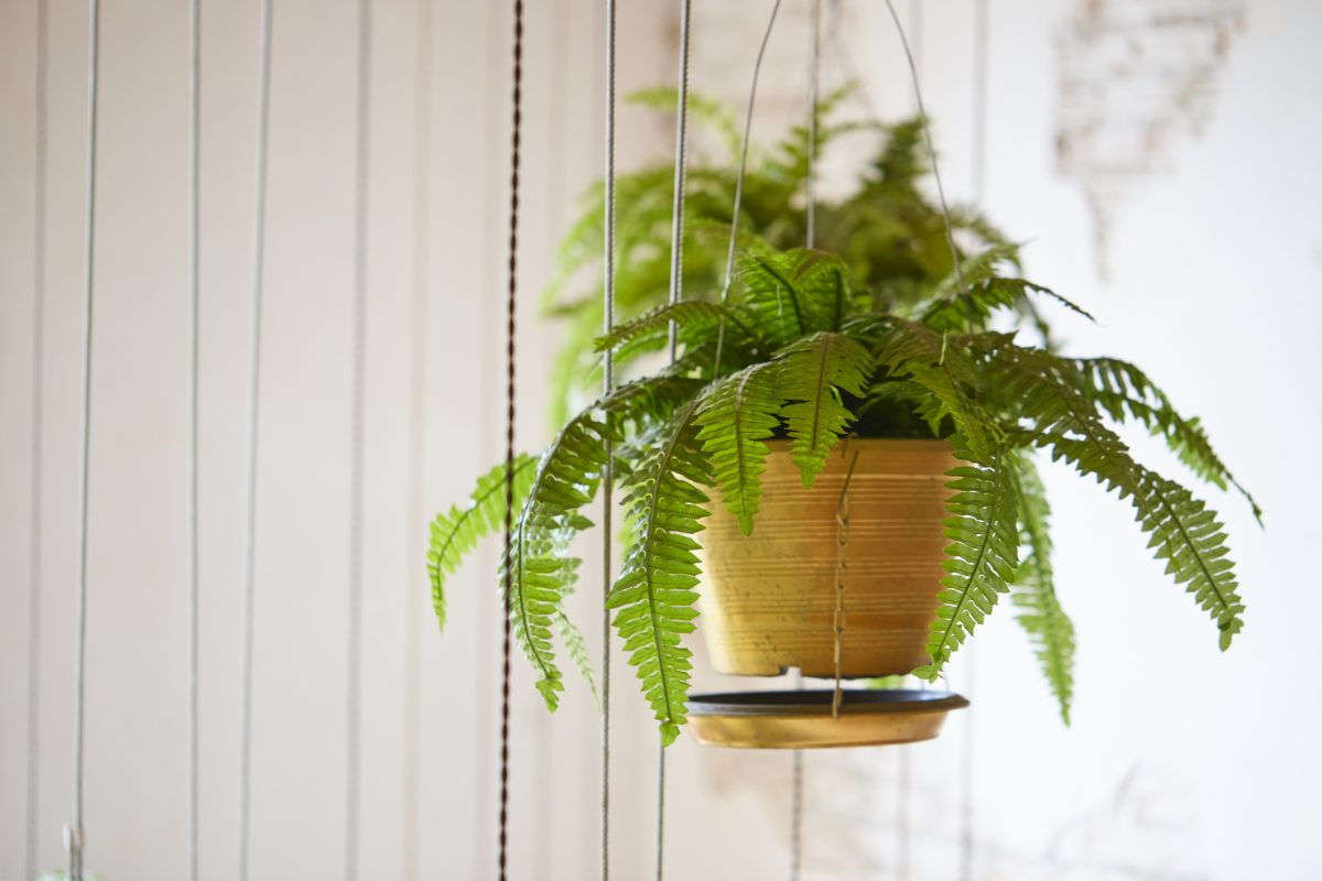 Boston Fern Water Keep Moist