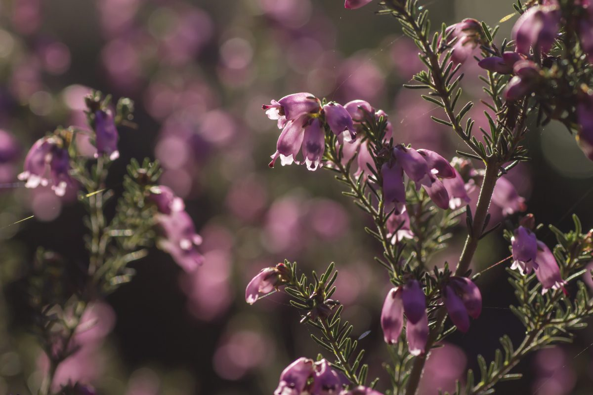 winter heath flowers