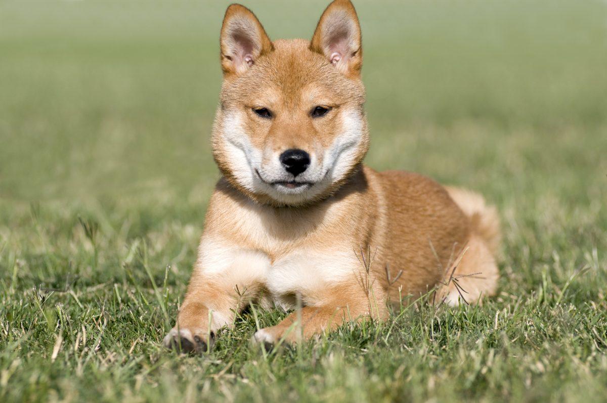 Shiba inu, a Japanese breed