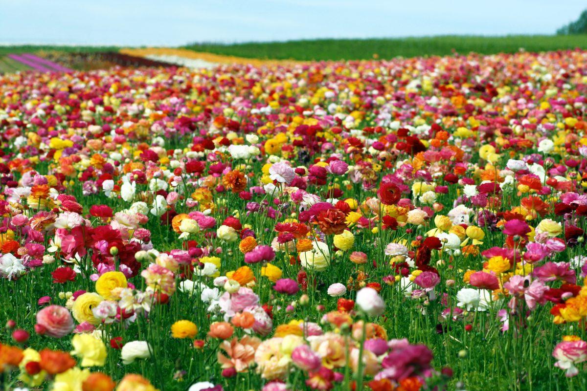 Ranunculus Perennial Bulbs Corms Spring
