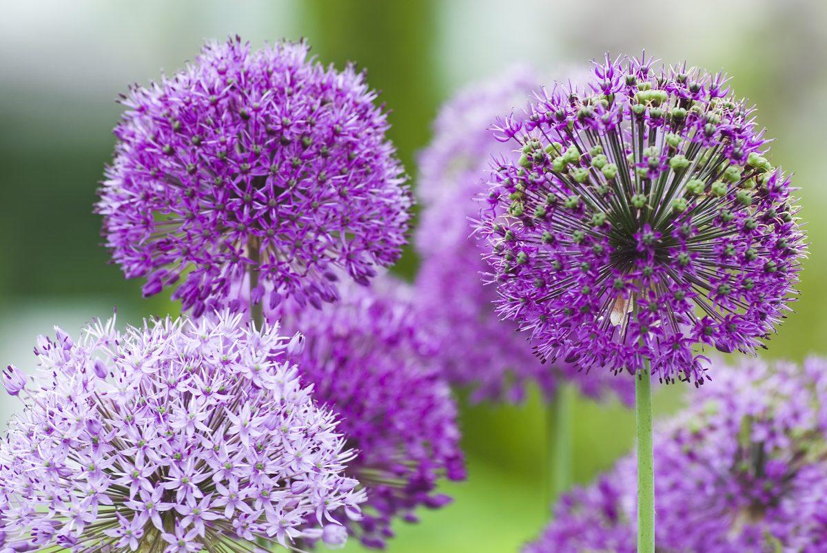 dramatic purple balls alliums