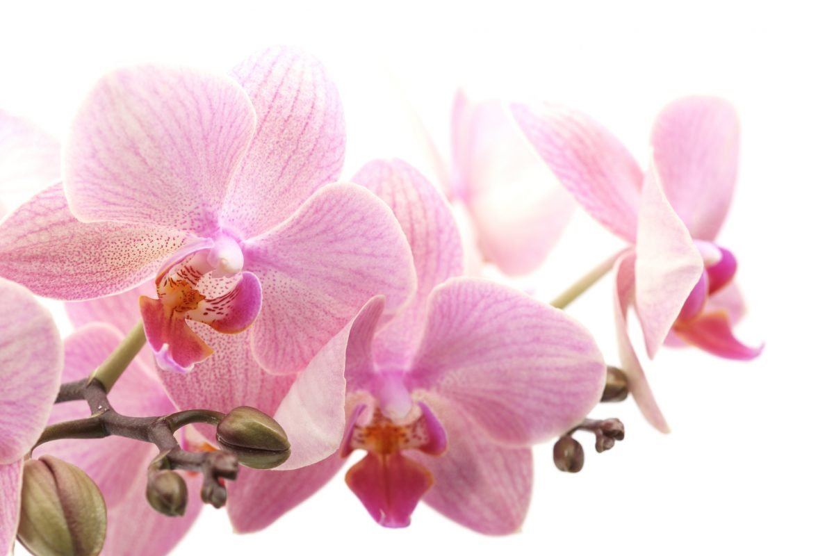 Moth Orchid Bright Flowering Watering