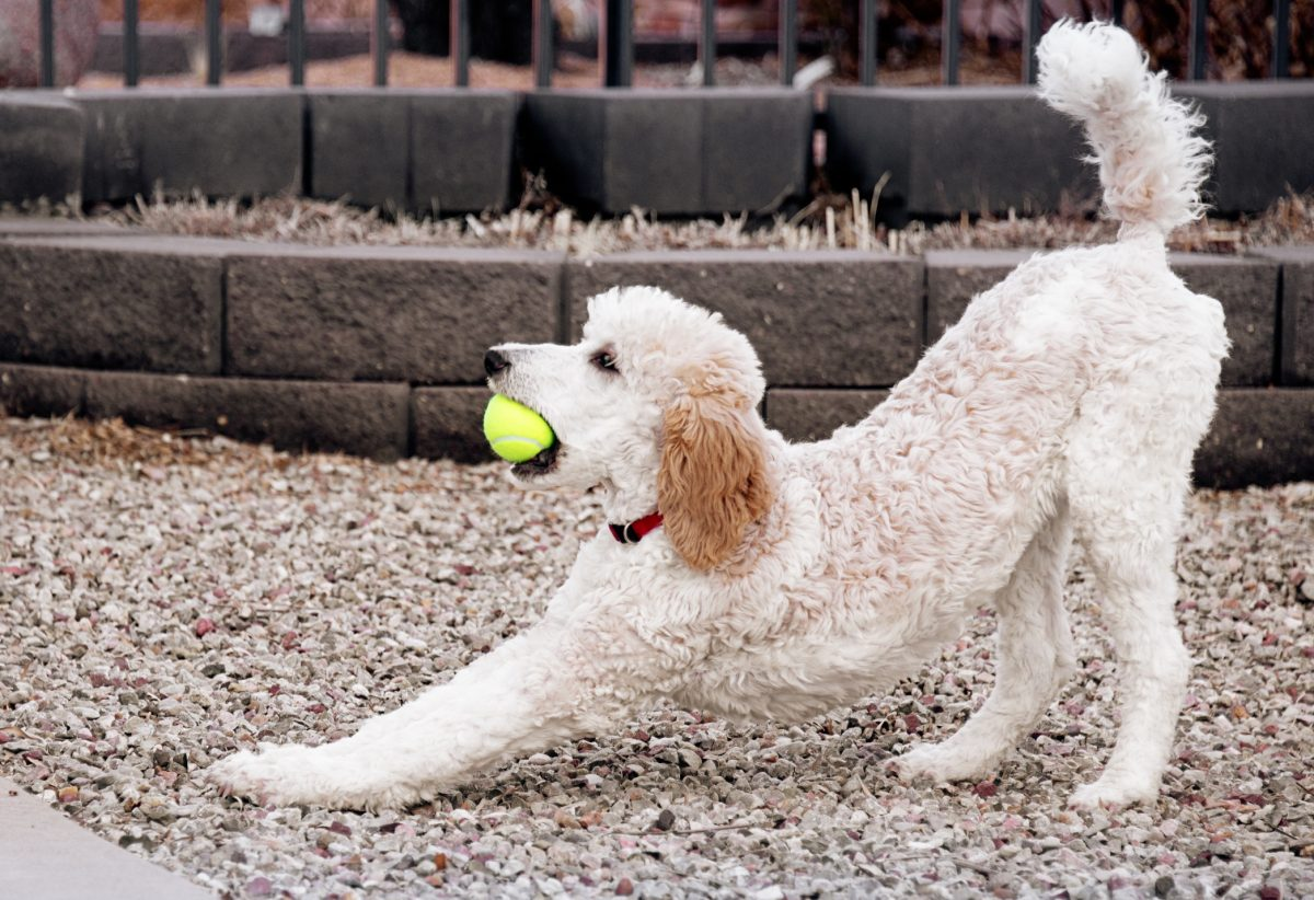 Poodles need lots of exercise