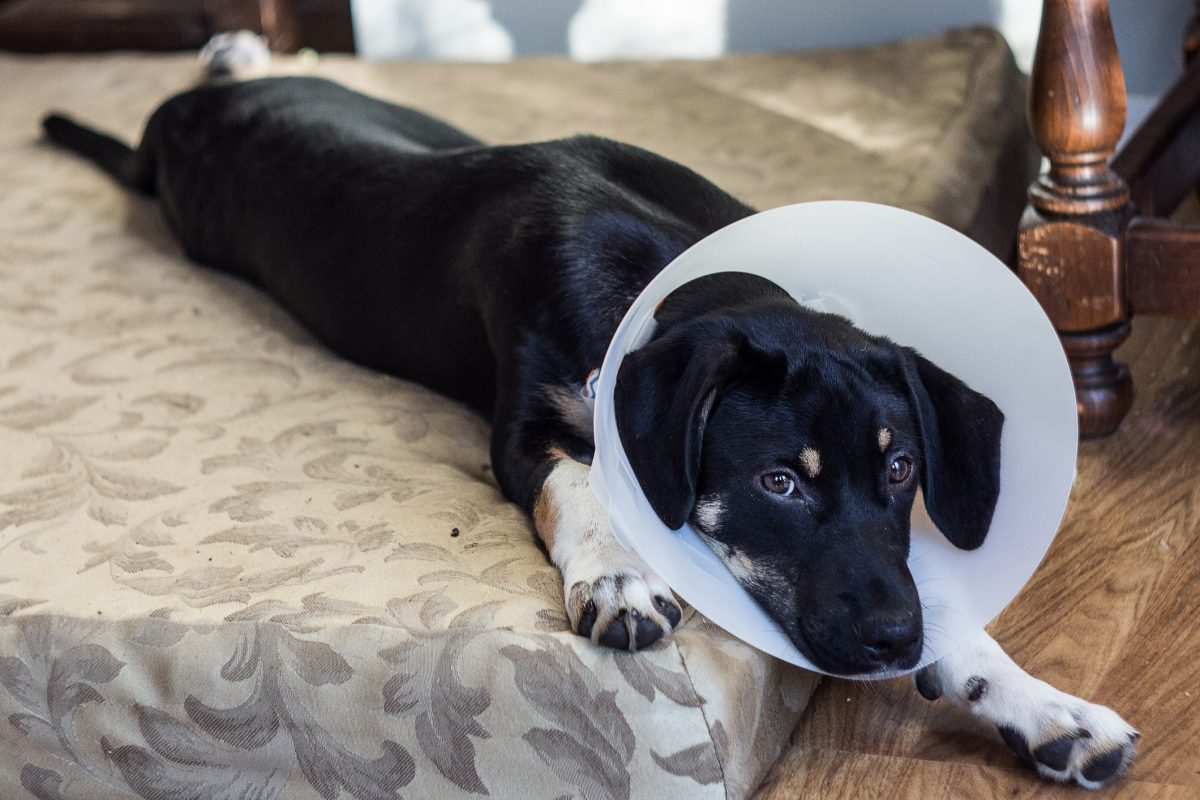 Cone collars and medications