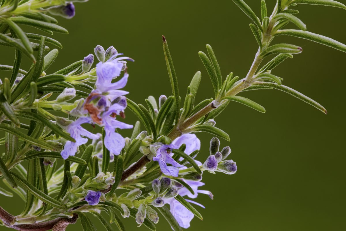 vigorous grower delicious blooms rosemary
