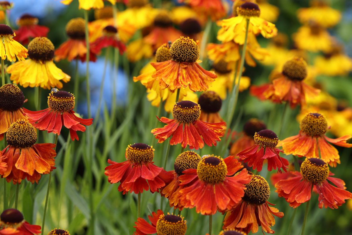 sneezeweed helenium autumnale flowers