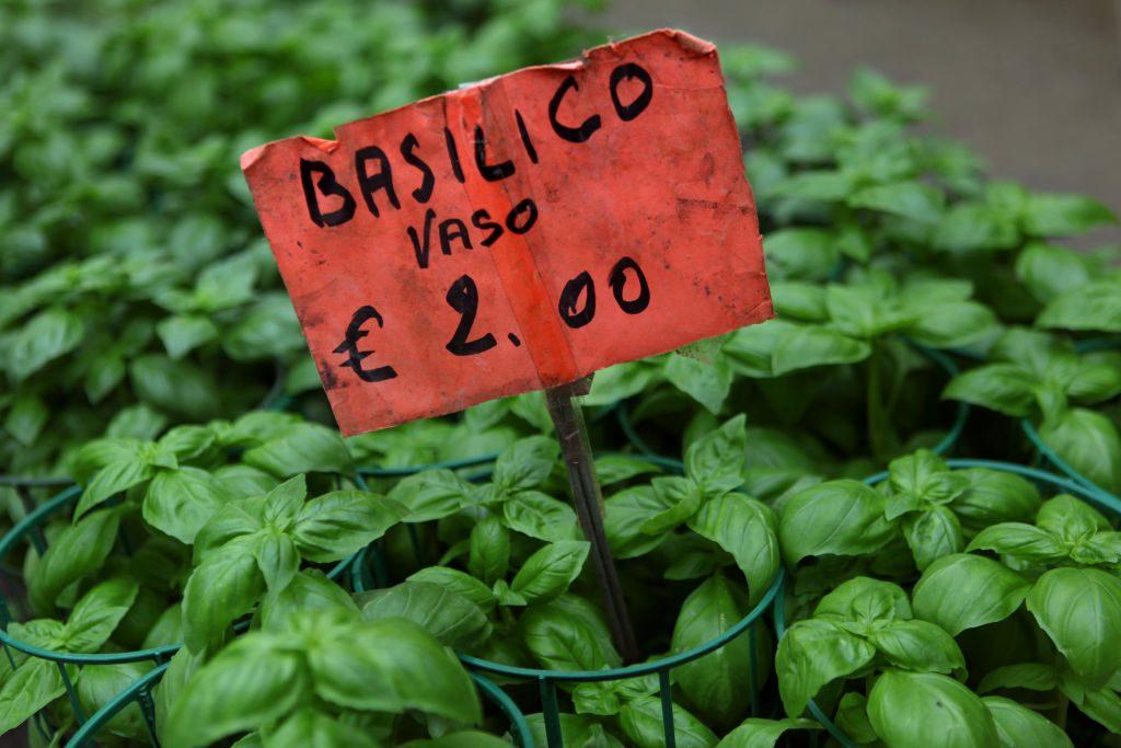 basil plants for sale