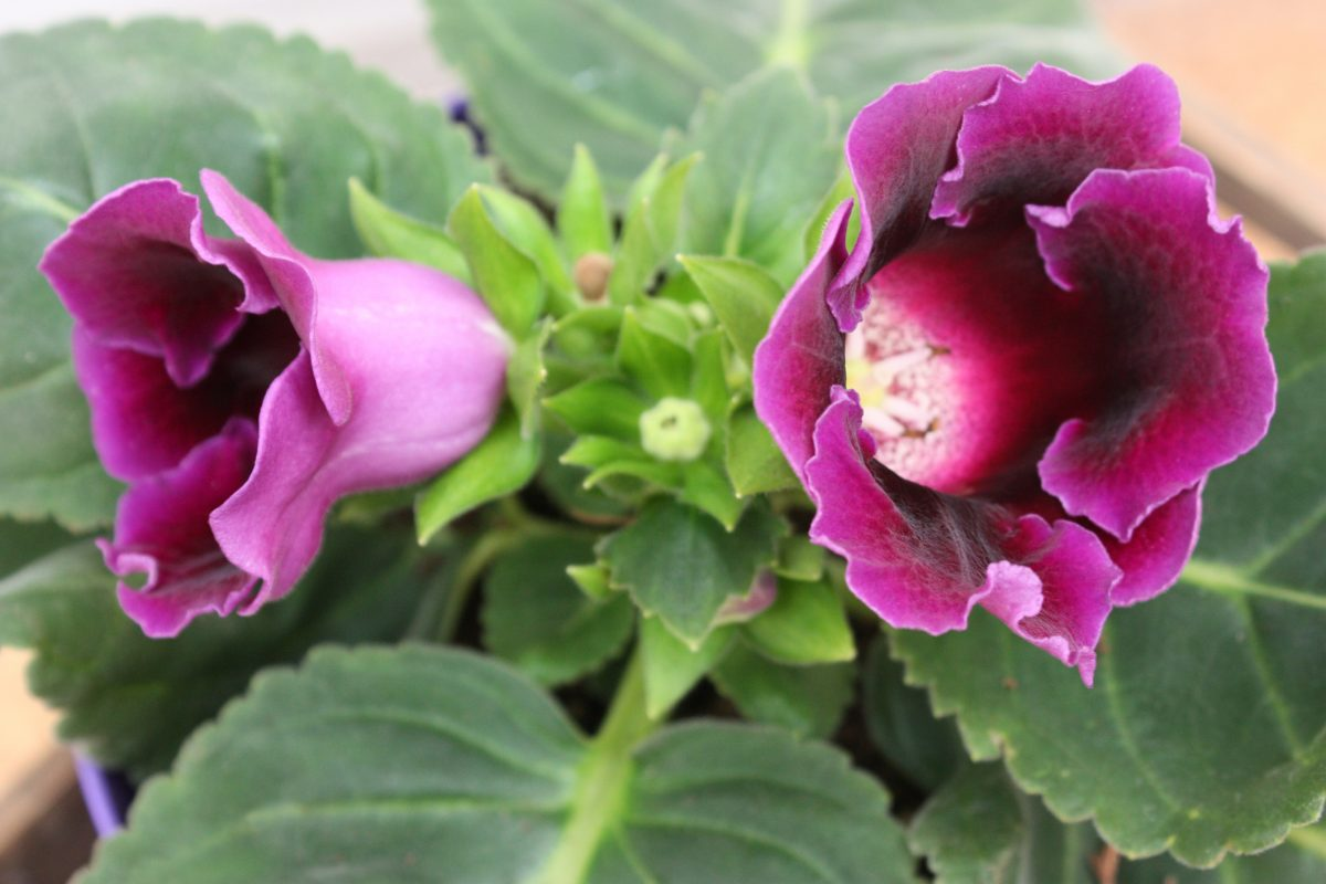 Gloxinia Annual Short-Lived Fertilize