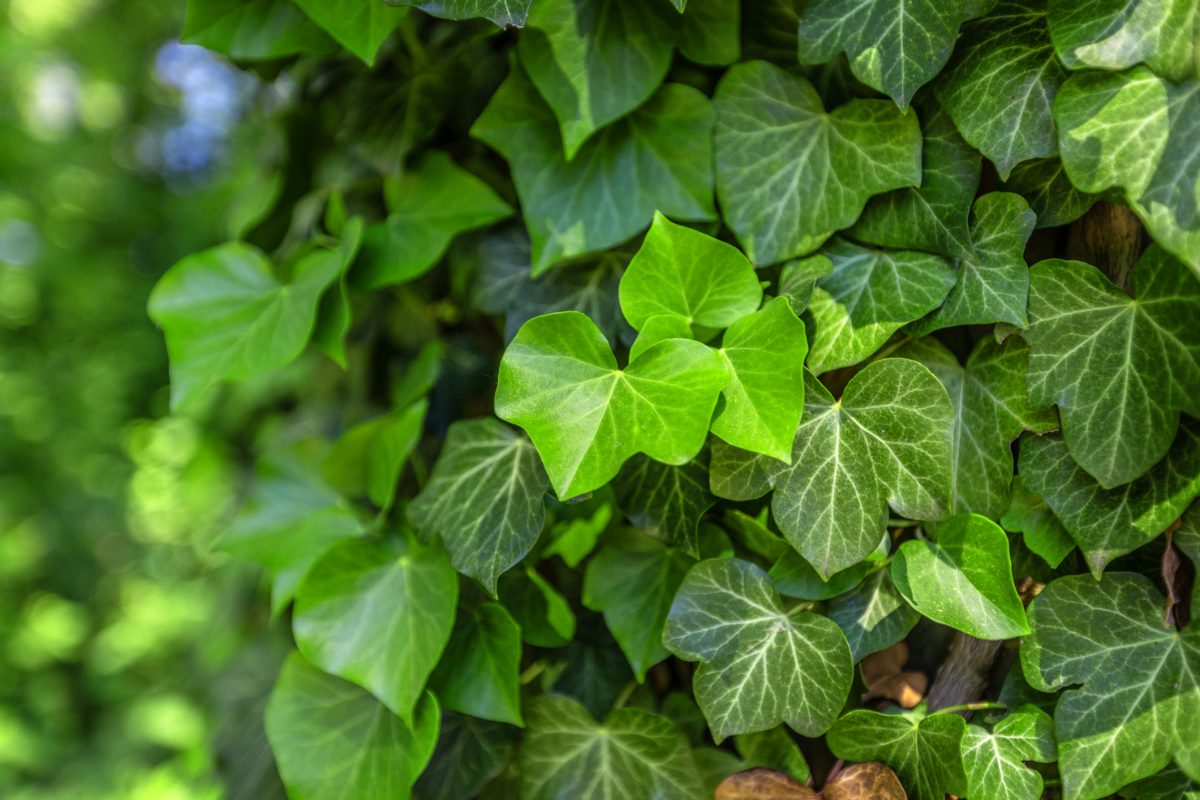 English Ivy Ground Cover Vines