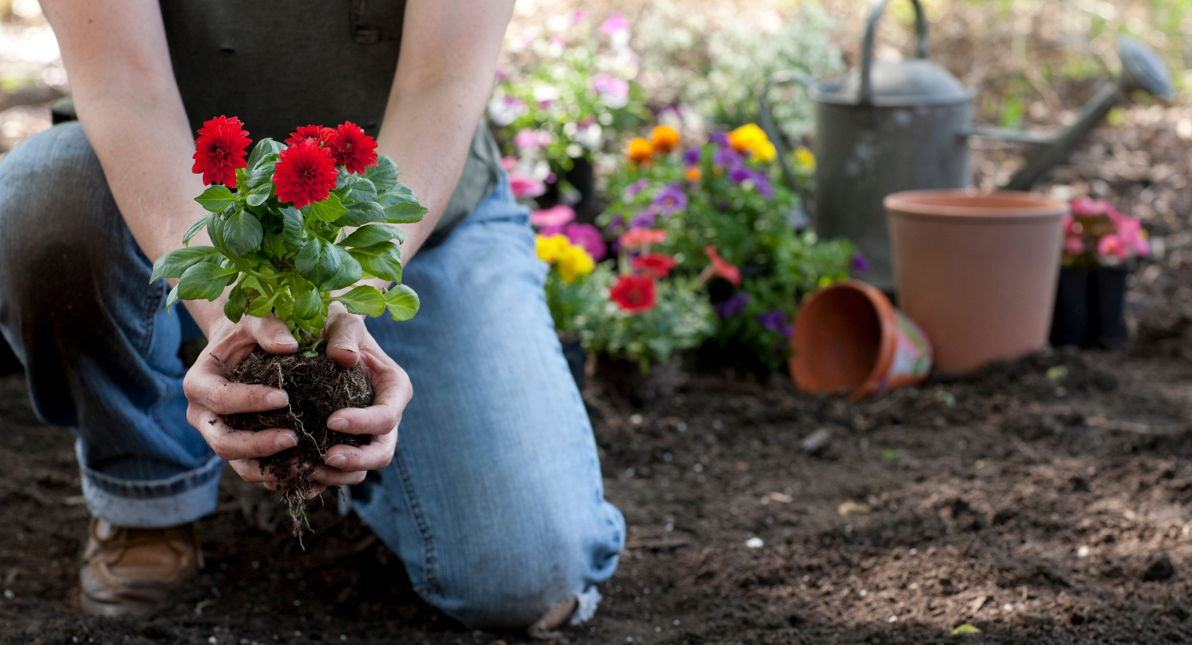 Woman gardening in springtime and holding Dahlia flowers in her hands