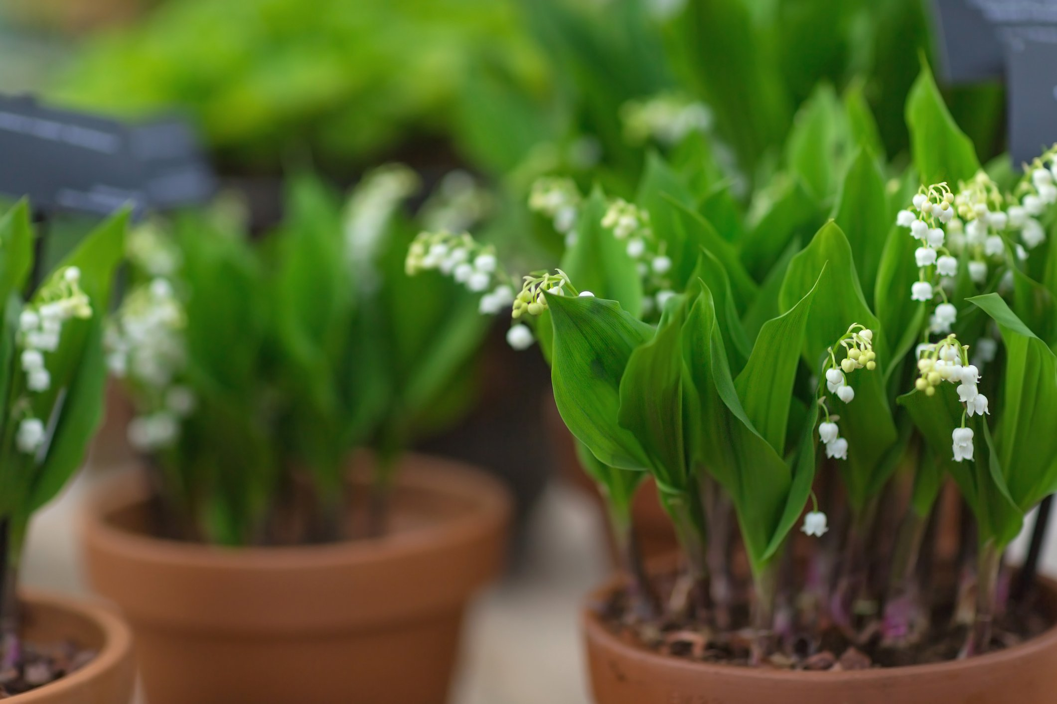 Lily of the valley in a flower pot. Close-up, selective focus, spring concept