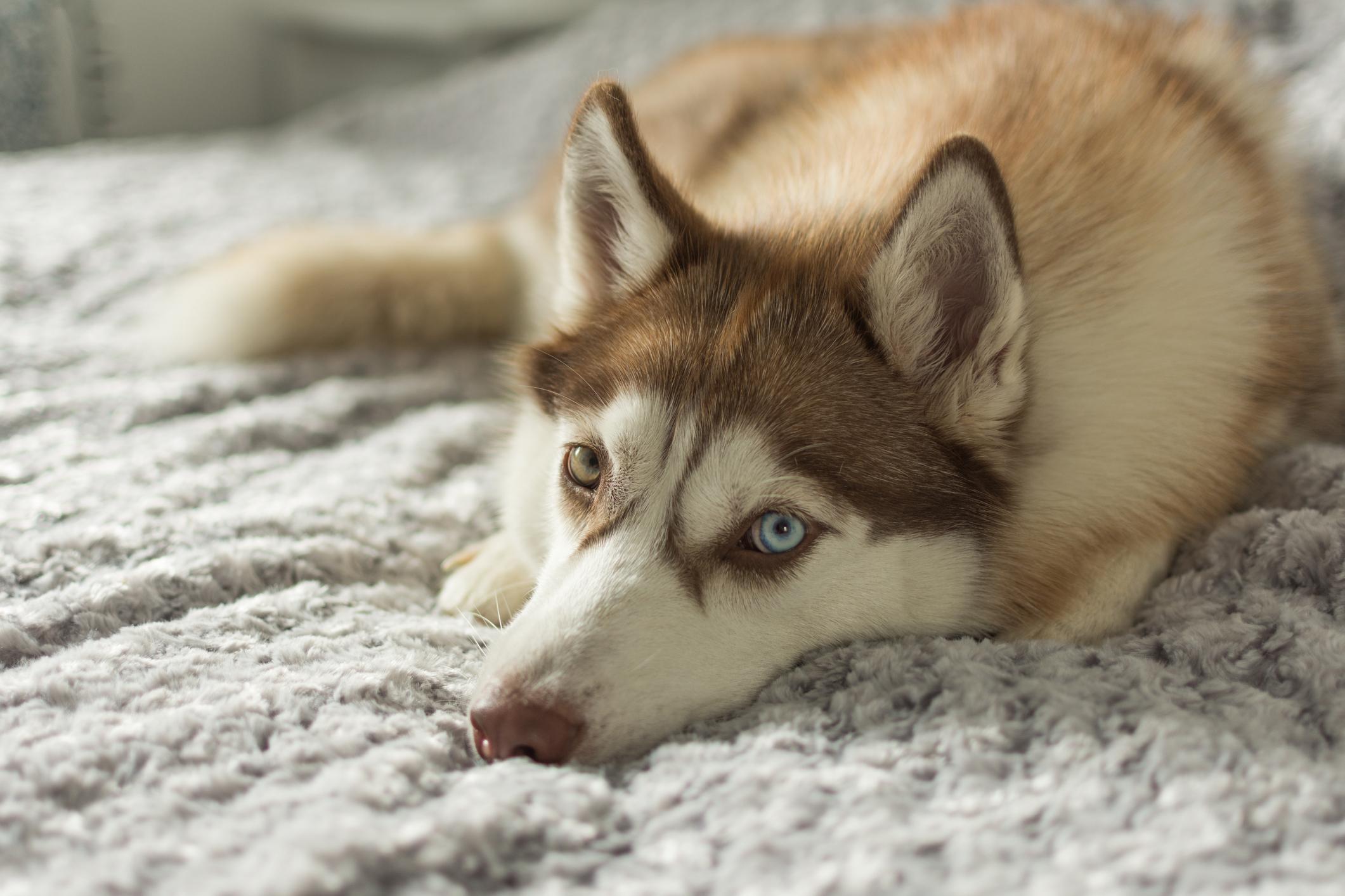 Siberian Husky at home looking at camera closeup