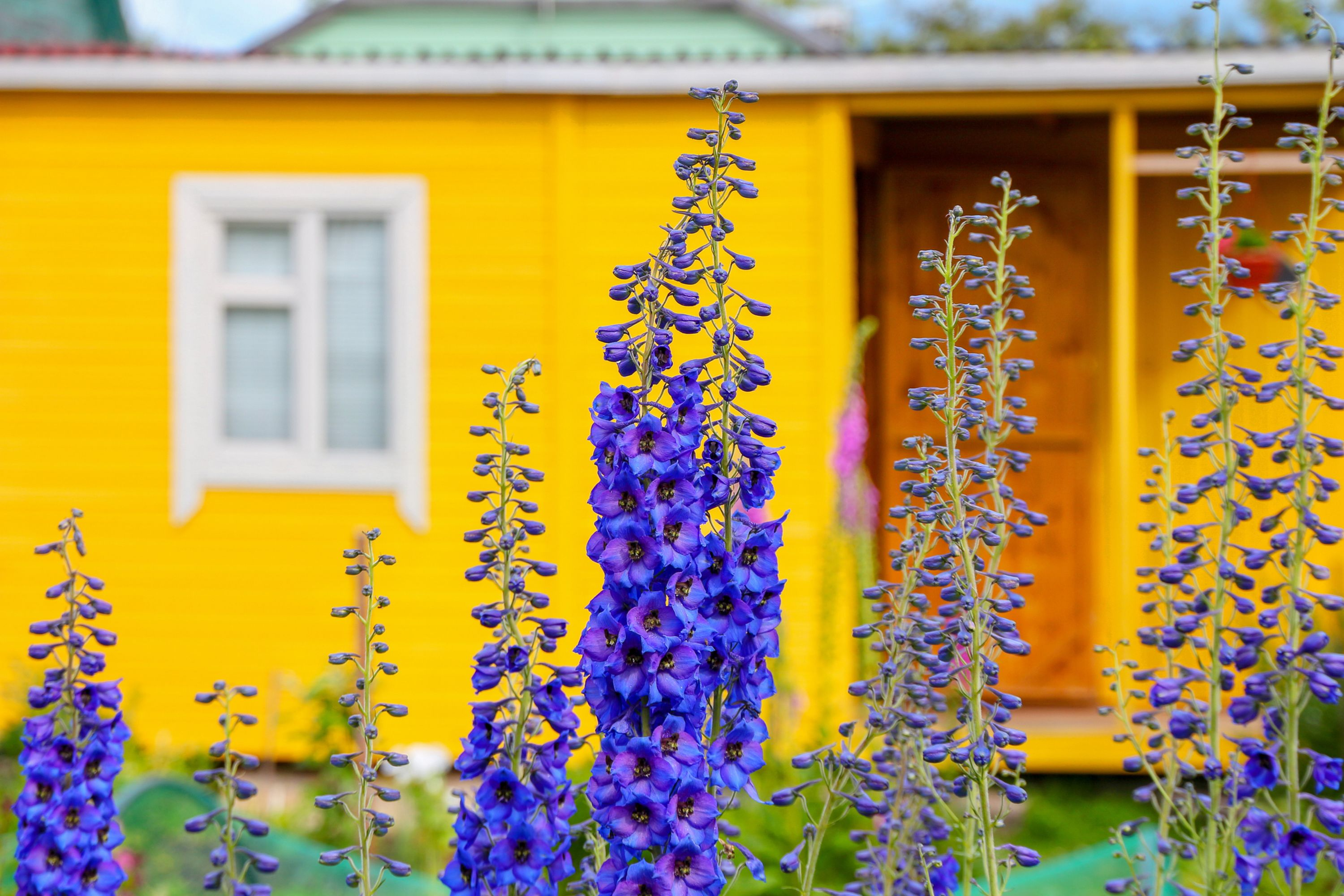 blooming flowers on the background of a bright yellow country house