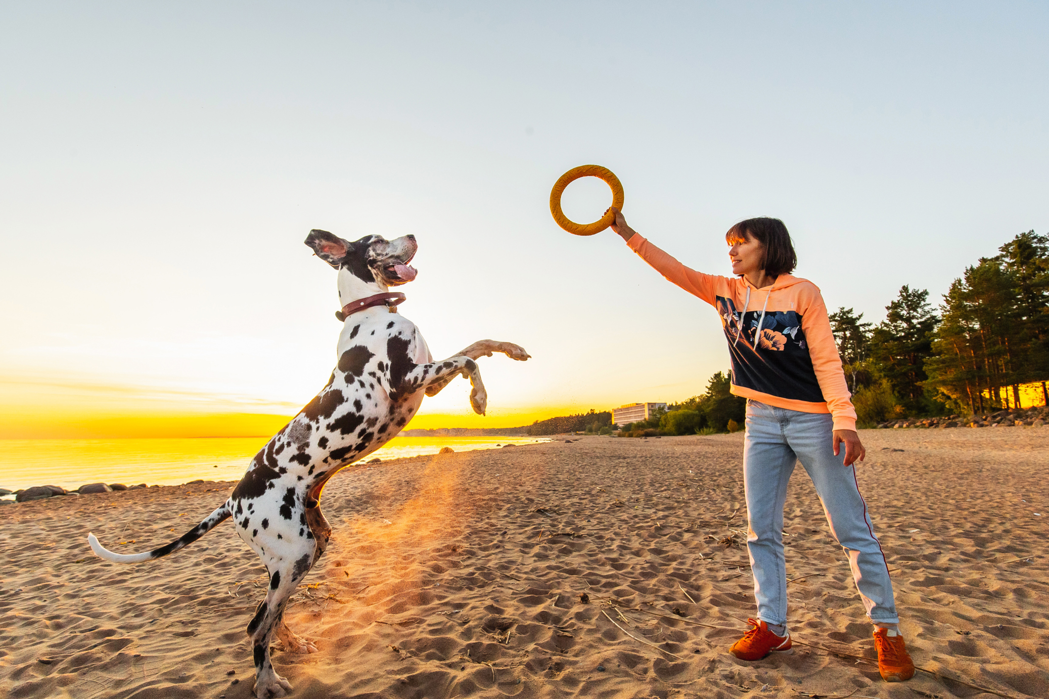 Side view of pleasant woman raising ring in hand before large active great Dane dog on sandy shore along water in sunset light